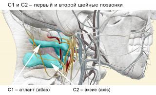 C1-C2_shejnyje-pozvonki_web