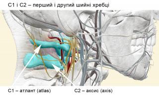 C1 і C2 – перший і другий шийні хребці