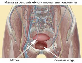 Матка та сечовий міхур