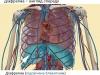 Діафрагма: вигляд спереду
