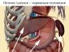 Печінка і шлунок